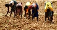 Thumb_solutions-à-court-terme-les-déboires-de-lagriculture-en-afrique-de-louest