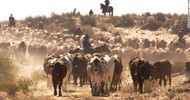 Thumb_australia-cattle-780x439