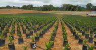 Thumb_plantation-de-palmiers-a-huile-de-golden_3eca4b4305dafde55be1524b4b61bd1a
