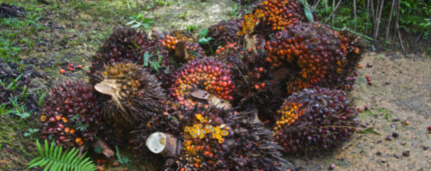 Sierra Leone: Fighting over palm fruits lands sick man in  hospital - a case of human rights abuse in Malen Chiefdom