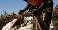 Thumb_harvesting_cotton