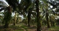 Thumb_palm-oil-sumatra-indonesia
