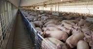 Thumb_1902-pig-farm