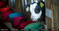 Thumb_cows_belarus