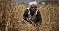 Thumb_paysan-dans-un-champ-de-blé-à-qalubiyah-en-Égypte
