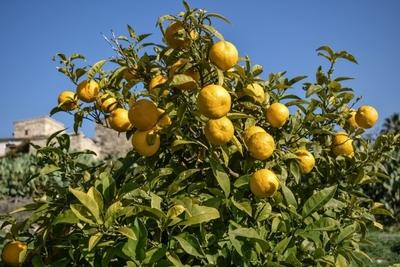 Uruguay: Firma peruana compra tierras para producir cítricos