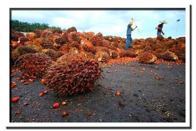 L'américain APC se lance dans le palmier à huile en Guinée Bissau