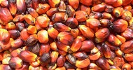 Thumb_20090325-oil-palm-kernels