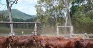 Thumb_cattle-iffco-australia