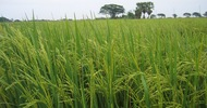 Thumb_thai-rice-plants
