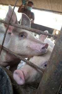 Goldman Sachs has invested in pig farms in China (Photo: Jefri Aries/IRIN)