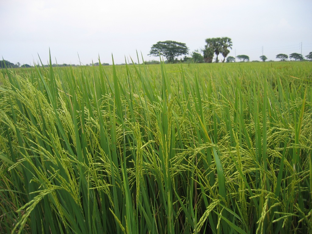acreage response of rice in cote Response of growth parameters to alternate wetting and drying method of water management in low land rice (oryza sativa) kishor mote1, v praveen rao2.