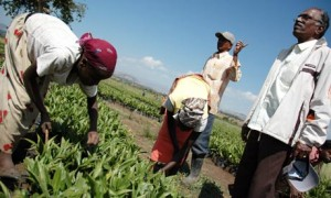 Ethiopian works at farm