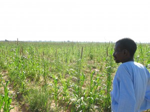 Tiedo Kane, member of the farmers' organisation SEXAGON, looks out  at the fields of millet planted by local farmers that will soon be  taken over by Illovo Sugar for its Merkala Sugar Project (Photo: GRAIN,  October 2010)